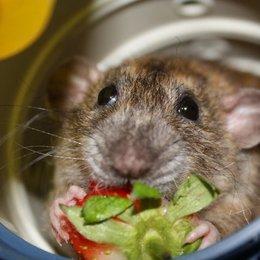 Små rottebabyer skal hjem til nye eiere.